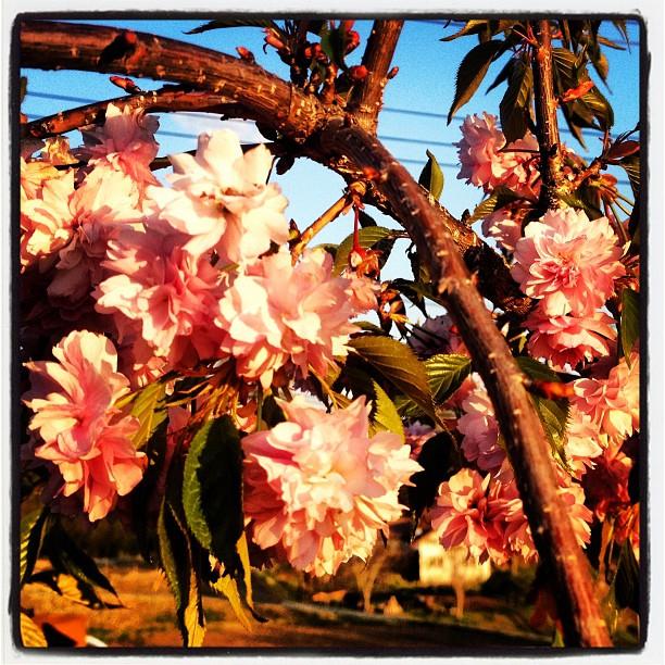 sakuranagasaka*baseの枝垂桜が満開(^^) 今朝 到着した時には 霜柱が立つほど冷え込んでいました^^; 明日はもう一本 サクラを植える予定です。今度も枝垂桜。吉野桜(^^)