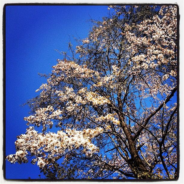 yamazakura散歩の途中 林の中に満開の山桜(^^)