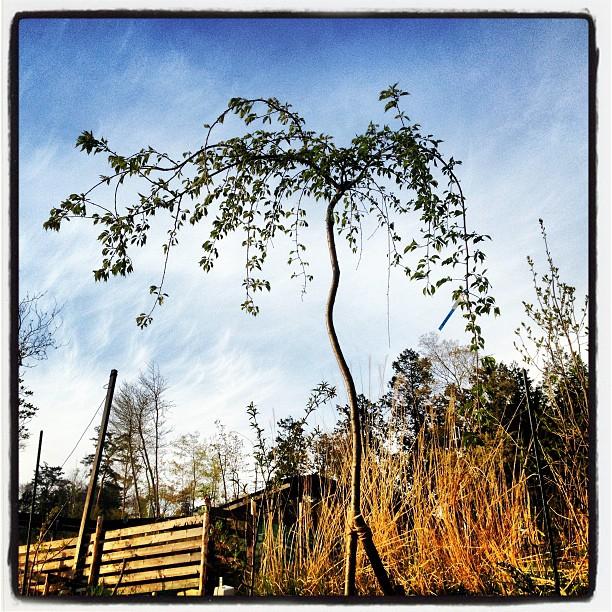sigdare sakura引取りに行った 吉野桜は無事baseのいっかくに植えました!今年の花は終わっているので 花見はまた来年のお楽しみ(^^)