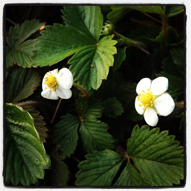 strawberry苺の花が咲いていた(^^)