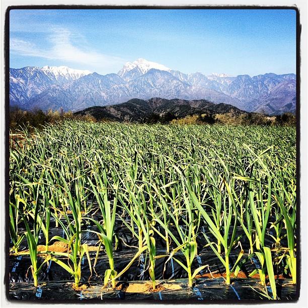 onionタマネギ畑越しの南アルプス(^^)だいぶ芽吹いてきた感じです。