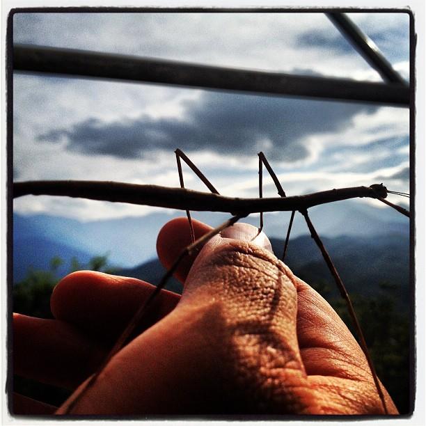stick insect 今日のゲストは ナナフシ(^^)何処からともなくやって来ました!