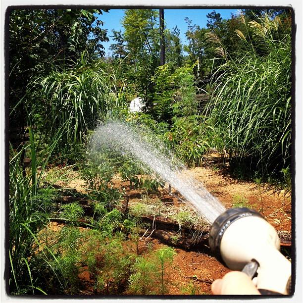 watering time 乾いた花壇に水やりタイム(^^) あげたそばから乾いていく(^^;;