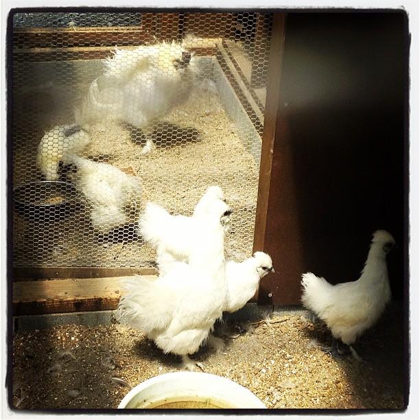 silky fowl ご近所さんの買っている 烏骨鶏を覗きに(^^) ふわふわしていて かわいい!でも この時期は暑そうだ^^;