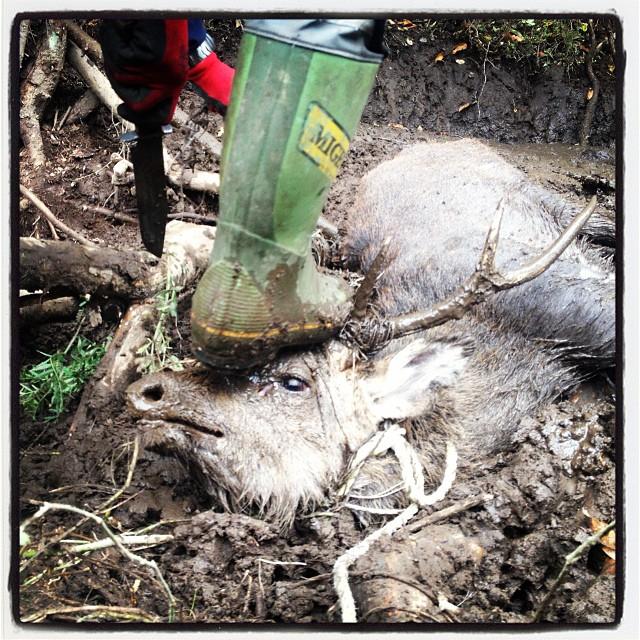 Japanese deer シカ採れた。畑の網にかかってたとの連絡あったので 急遽 川上村まで^^〆て内臓抜くとこまでがいま終了。これからさばく。