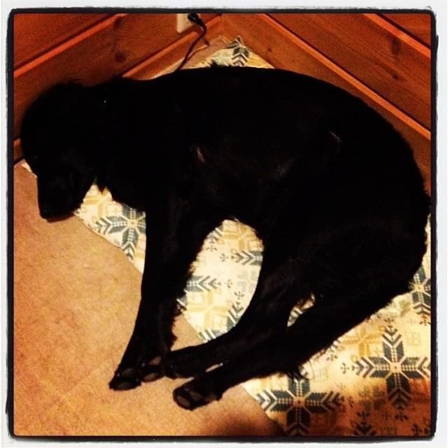 dog napうたた寝中のabbey(^^) まるで捉えられた動物の様な寝姿(^^;;