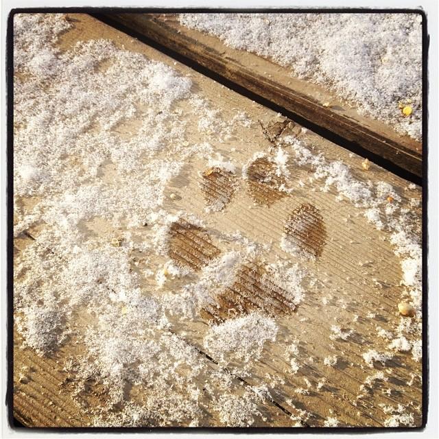 footmark デッキに うっすらと降り積もった雪を 取り敢えず踏んでみた アビーの足跡(^ ^)