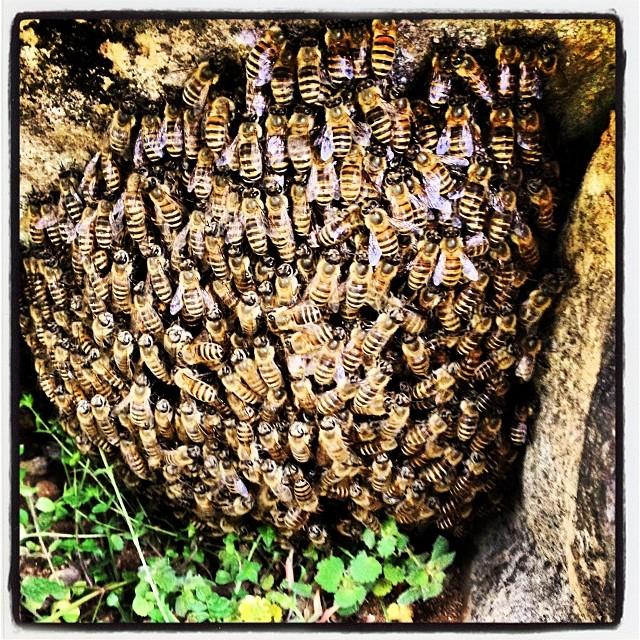 beehive蜂蜜玉^^;日本蜜蜂が分蜂をはじめたのだけれど 岩の間に集まったのでちょっと大変^^; これから暫く 何回か分蜂が繰り返されて うまく行けば4.5箱に増える予定。予定(^ ^)