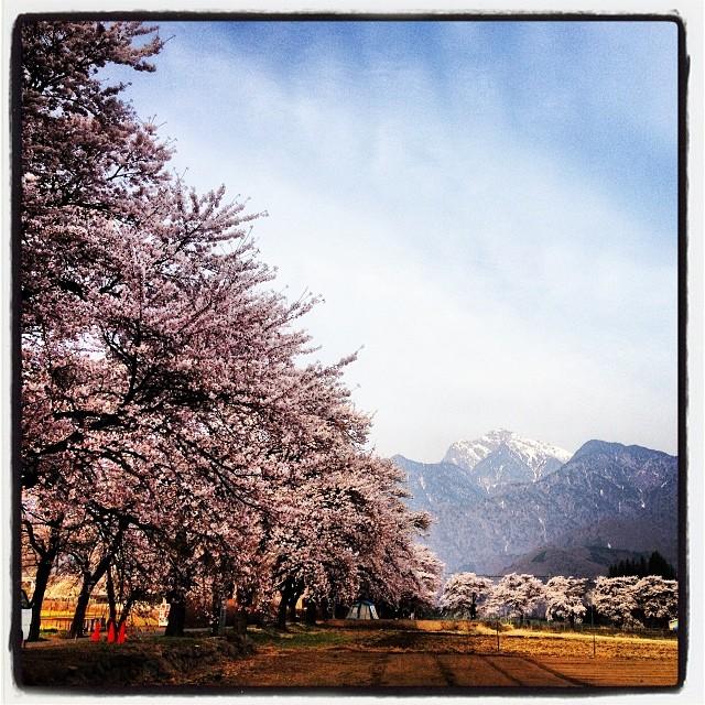 The cherry trees are almost in full bloom.真原(さねはら)の桜 満開。nagasaka*baseからも サクライロにそまった並木道が見えるので 観光客のまだ来ない早朝に^^
