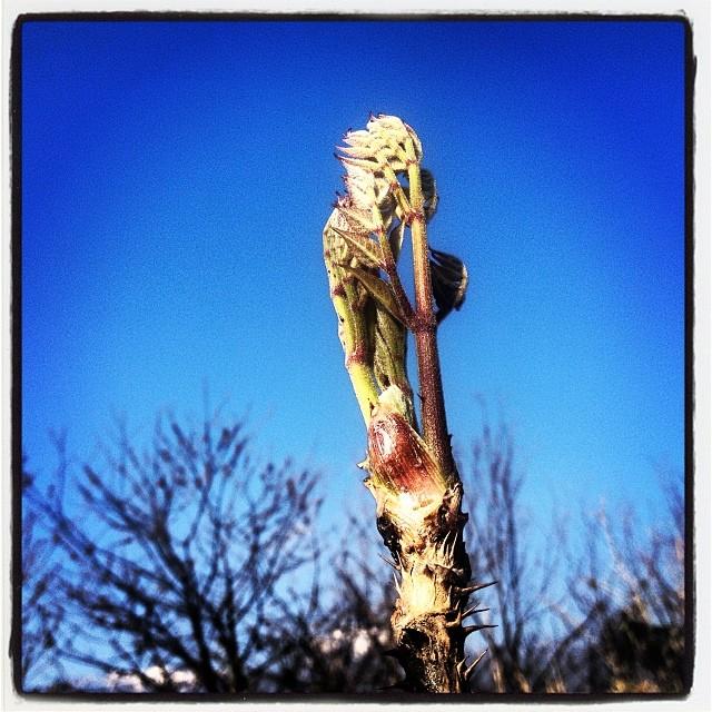 mountain plantたらの芽は英語でなんて言うんだろう^^; nagasaka*baseに今のところ唯一のたらの芽。食べちゃうと増えない気がするので暫くははこのままに^^