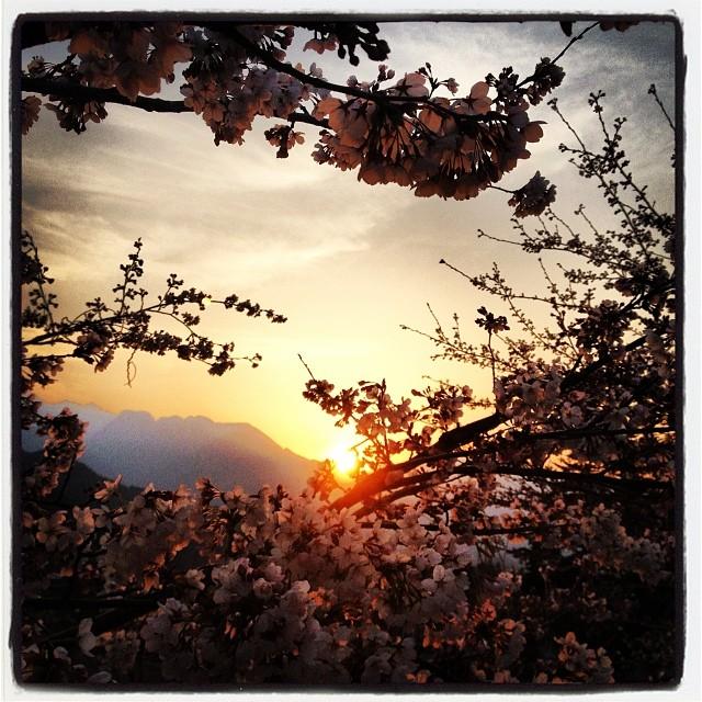 japanese cherry 昨日はまだ蕾みだった桜が 今日の暖かさで開花^ ^