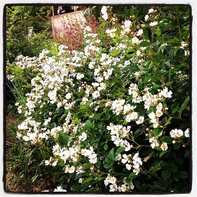 rose 木香薔薇も満開に^^隣の野バラも満開に^^