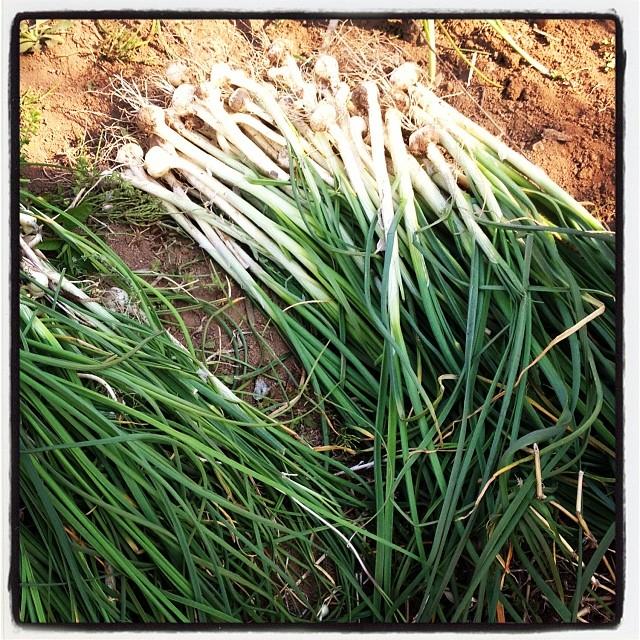 natural bounty nagasaka*baseの道路っ端では 今年も野蒜が豊作^^まあ この時期とこにでも生えてるのですが••^^;