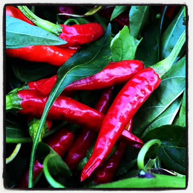 chili pepper 畑の唐辛子がいい感じに赤く色づいていたので 一部を収穫^^ とりあえず乾燥へ^^