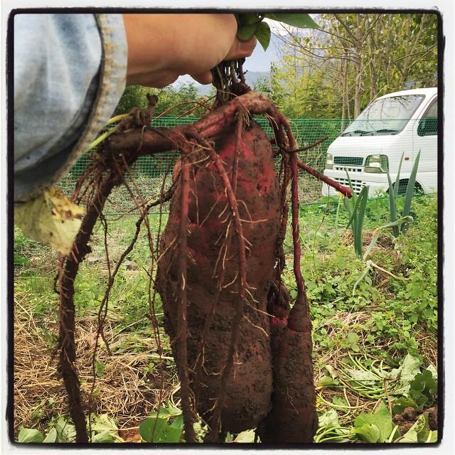 Ipomoea batatas でかいサツマイモが採れた^^;
