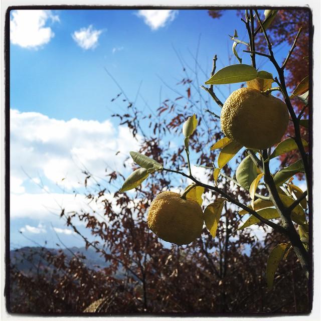 last yuzu nagasaka*baseの柚子の木に 最後に残った柚子二つ^^ 柚子胡椒を作った時に 二つだけ残しておいた実が 黄色く色付きました^^ご近所さんに貰った柚子と合わせて 柚子塩と柚子のビネガーを作って nagasaka*base 今シーズンの柚子は終了です^^