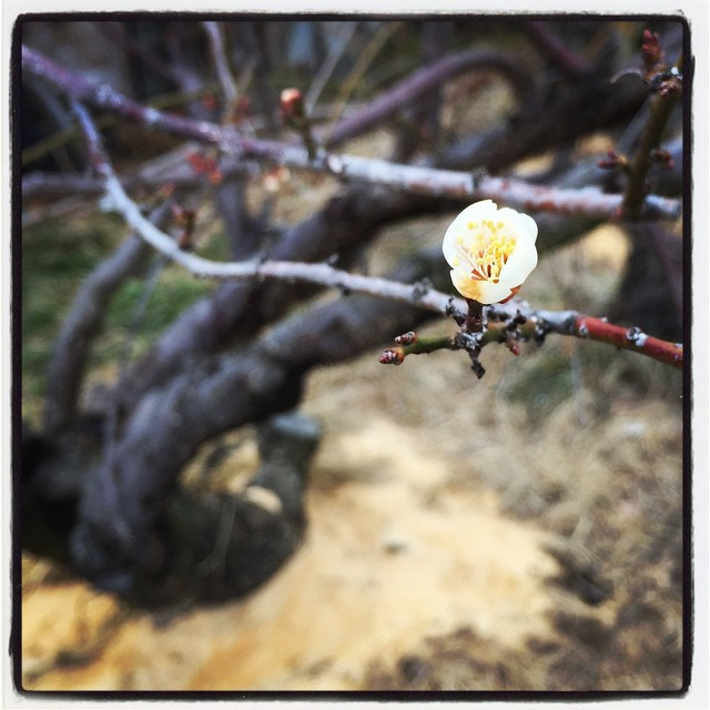 ume apricot flower 桃畑に梅の花^^