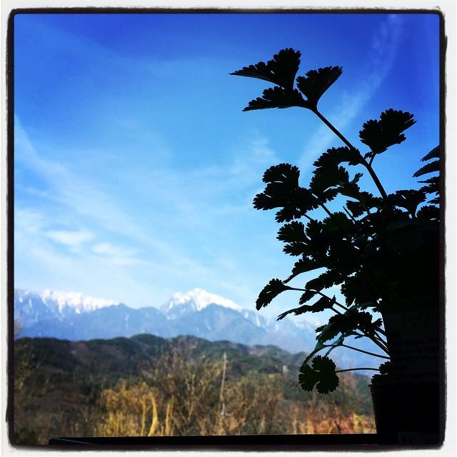 mt.phakchi アルプスとパクチー^^ポットのパクチーがだいぶ大きくなってきた^^ #mountainmountain #nagasakabase #そんなあなたはスパイシー