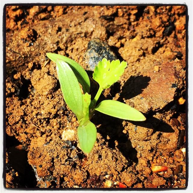 phakchi 双葉の次に出て来た葉っぱは もはやベビーパクチー^^種からも順調に発芽しています^^ #nagasakabase #mountainmountain #そんなあなたはスパイシー