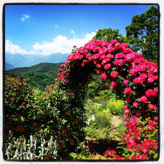 open garden mountain*mountainてら 徒歩数分^^本日 限定でオープンガーデンをされています^^ 満開です^^ よく手入れされた立派なお庭と アルプスを眺める絶景が待ってますよ^^ #mountainmountain #nagasakabase  #mtmt #そんなあなたはスパイシー
