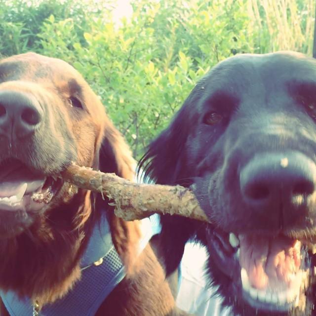 biting 一本の木の枝を延々と奪い合い ガリガリし続けるabbeyときなこ^^; 飽きることがないのか!? #nagasakabase #abbey #そんなあなたはスパイシー