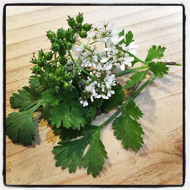 phakchi nagasaka*baseのパクチーの花が最盛期^^ 葉と花と実とが同時に楽しめる貴重なタイミング^^ #nagasakabase #mountainmountain #そんなあなたはスパイシー