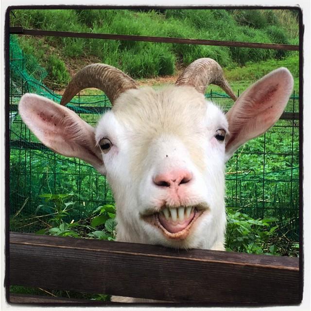 goatabbeyの散歩途中に近所の山羊にご挨拶したら 歯をむかれた^^; どうやら子ヤギを食べられるんじゃないかと思われたらしい^^; #nagasakabase #mountainmountain #そんなあなたはスパイシー