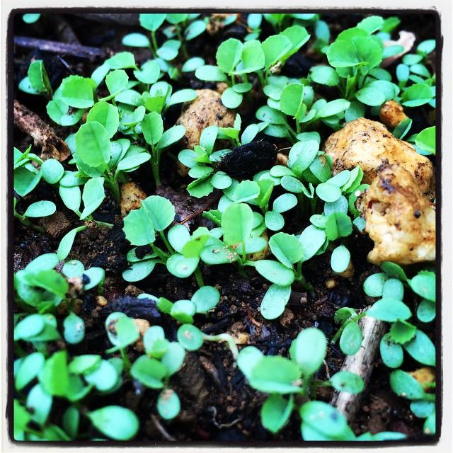 clover そといれ 前に 土留めにと蒔いたクローバーが 一気に発芽してきた^^ ちょつと蒔きすぎたかもしれない^^; #nagasakabase #mountainmountain #そんなあなたはスパイシー