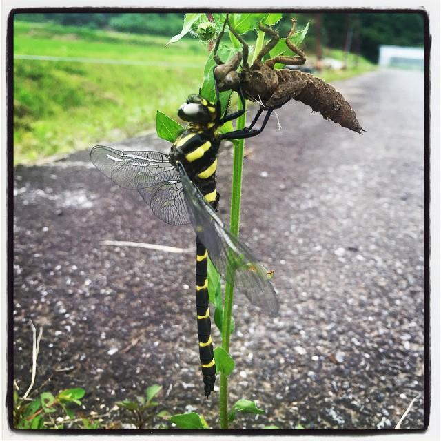 emergence 今朝のabbeyの散歩は 羽化したばかりの蜻蛉を発見するところからスタート^^ これがこんなになるなんて^^ 帰り道には 羽がひろがっていた^^ #nagasakabase #mountainmountain #そんなあなたはスパイシー