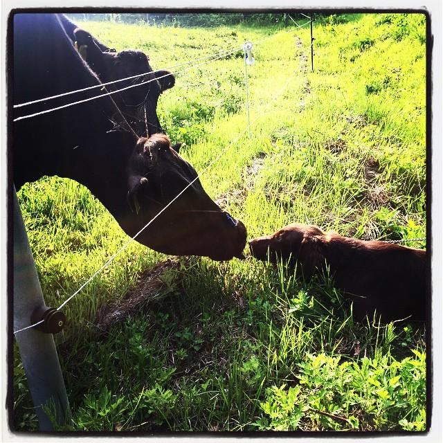 close encounters of the third kind 今朝も ご近所犬 きなこと共に散歩^^ 牧場の牛と 未知との遭遇^^ abbeyはあまり興味なし^^; #nagasakabase #mountainmountain #そんなあなたはスパイシー