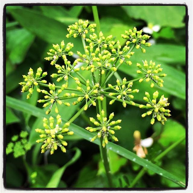 Petroselium crispum パセリの花が満開^^ #mountainmountain #nagasakabase #そんなあなたはスパイシー