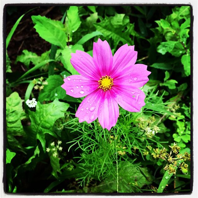 cosmos 少しづつ コスモスが咲きはじめました^^ #nagasakabase #mountainmountain #そんなあなたはスパイシー #BEEK05