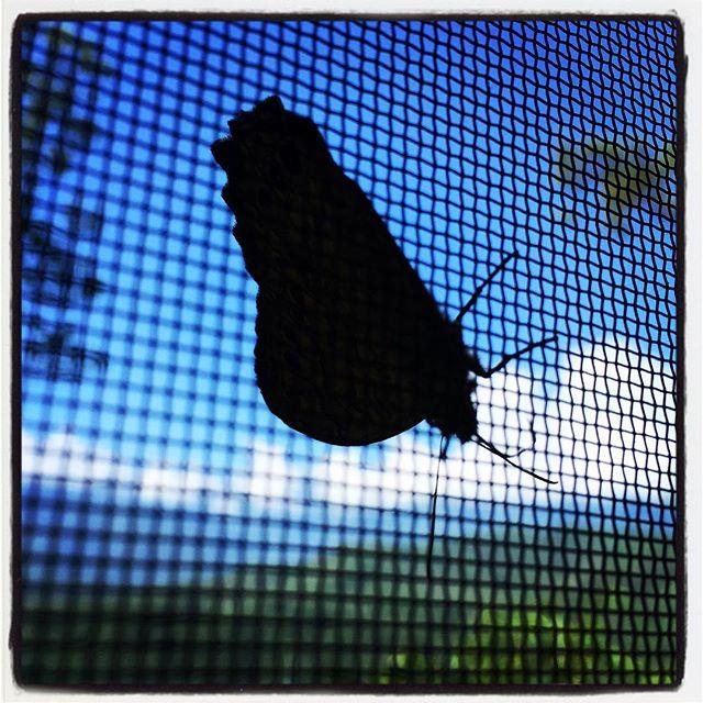 butterfly 網戸から蝶々がはなれません^^; #nagasakabase #mountainmountain #そんなあなたはスパイシー