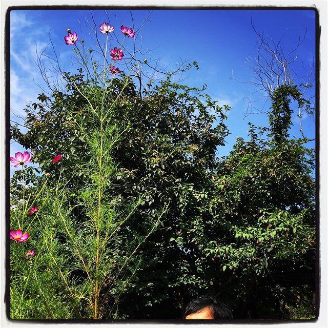 cosmos nagasaka*baseの秋桜が大きすぎるほど立派に育ちました^^; 頭上遥か上で 綺麗に花を咲かせています^^ #nagasakabase #mountainmountain #そんなあなたはスパイシー