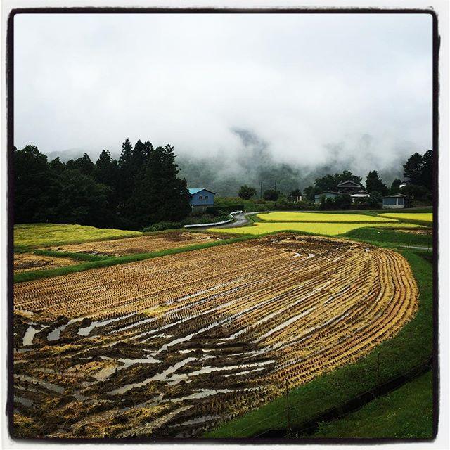 harvesting rice もち米から刈取りが始まって 少しづつ風景が変わってきました^^ 昨日の雨でだいぶ倒れてる^^; #nagasakabase #mountainmountain #そんなあなたはスパイシー