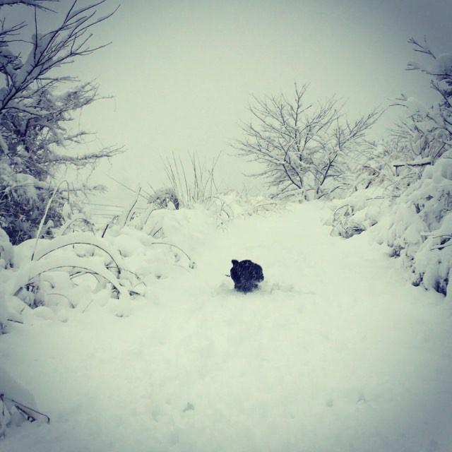 it's snowing hard abbeyと一緒に庭かけまわる^^ 何処までか庭なのか・・ 雪深すぎて走れない・・^^; #nagasakabase #mountainmountain #そんなあなたはスパイシー #mountainlife #snowinghard