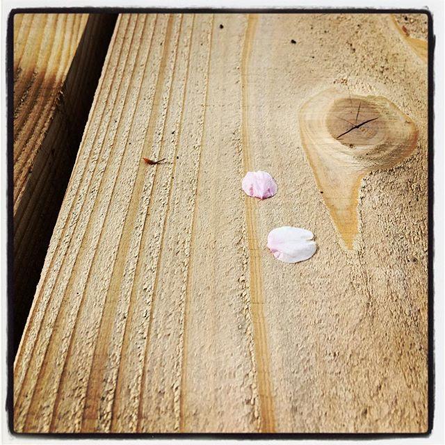 cherry blossom 桜の満開は過ぎ 今は桜吹雪^^ これはこれでなかなかいいものです^^ #nagasakabase #mountainmountain #そんなあなたはスパイシー #mountainlife #cherryblossom