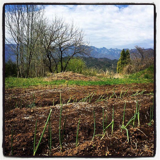 alliaceous 長ネギの苗を大量にいただいたので 畑に植え付け^^ ネギパーティが出来そうだ^^; #nagasakabase #mountainmountain #そんなあなたはスパイシー #mountainlife