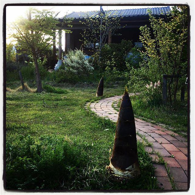 bamboo shoot ご近所さんに頂いたタケノコがあまりにも立派だったので 庭に並べてみた^^ #nagasakabase #mountainmountain #そんなあなたはスパイシー #mountainlife