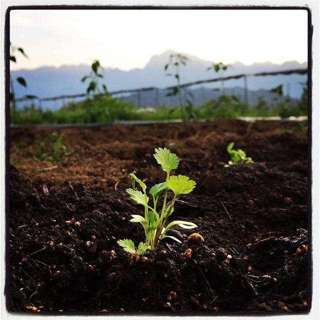 phakchi 今日は営業終了後に 山梨の情報誌に取材していただきまして その後から 引き続き畑で植え付け作業^^ 今日 植え付けたのは ほとんどがトウガラシ系のものばかりでした^^; 畑のパクチーもほんの少し伸びてきた感じ^^甲斐駒ヶ岳バックにアルプスのパクチー^^ #nagasakabase #mountainmountain #そんなあなたはスパイシー #mountainlife #パクチー #パク塩 #phakchi #coriander
