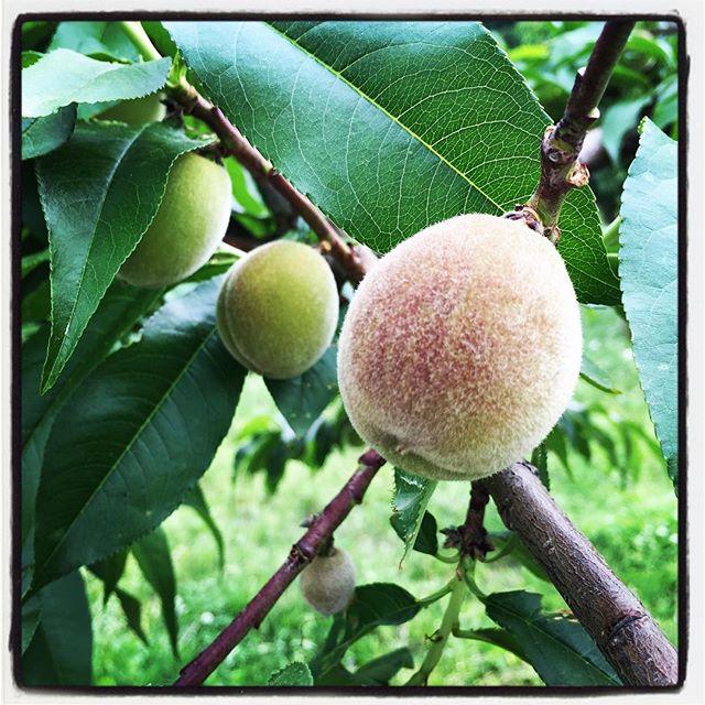 peach 桃の実が少しずつ大きくなってきました^^ まもなく袋がけの作業が始まります^^; #peach*peach #nagasakabase #mountainmountain #そんなあなたはスパイシー