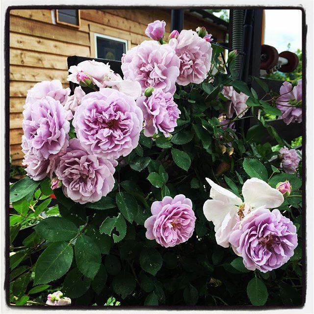 rainy blue bassに植えたバラ 今年はたくさんの花を付け イッキに咲きました^^ 品種は レイニーブルー^^淡いブルーの花を咲かせます^^ #nagasakabase #mountainmountain #そんなあなたはスパイシー #mountainlife #rainyblue #バラが咲いた