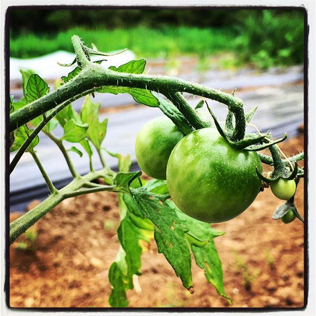 tomato ミニトマトも少しずつ^^ まだもう少しかかりそうですが^^ #nagasakabase #mountainmountain #そんなあなたはスパイシー #mountainlife #tomato