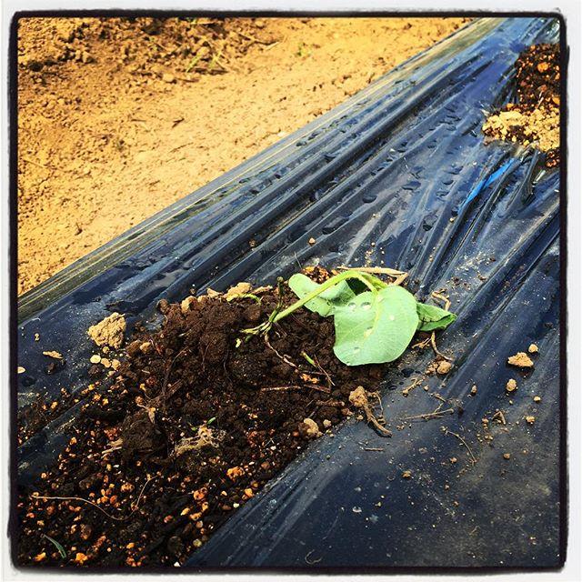 downtrodden 多分 鹿だと思う^^;パクチーの畝を踏み 枝豆の苗を踏み躙っていきました^^; 鹿の馬鹿^^; #nagasakabase #mountainmountain #そんなあなたはスパイシー #mountainlife #phakchi #パクチー #cilantro