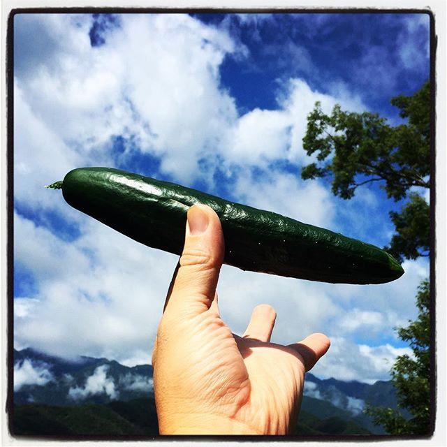 cucumber 畑のキュウリが少しづつですが 立派に育ってきました^^ とりあえず お店のキュウリは100%自家栽培に^^; 雨が続いたら 畑がもっさりとなりまして 雑草ももっさりと^^; #nagasakabase #mountainmountain #そんなあなたはスパイシー #mountainlife  #cucumber #farmacy