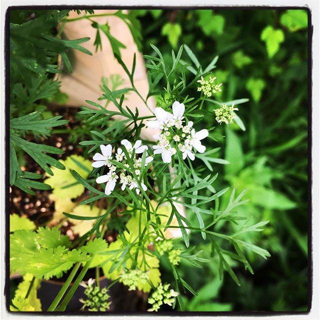 come into flower phakchi!パクチーの花が咲いた^^エントランスに置いてある 缶詰パクチー、カンパクに花が咲きました^^ 気がついたら 見てってください^^ #mountainmountain #nagasakabase #そんなあなたはスパイシー #mountainlife  #coriander #phakchi #パクチー