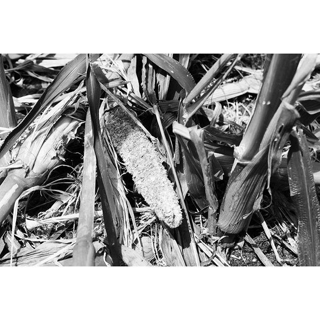 corn 無残なトウモロコシ^^; #nagasakabase #mountainmountain #そんなあなたはスパイシー #mountainlife
