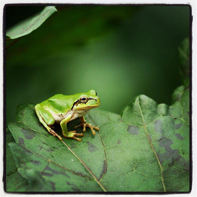 froggy 今日のカエル^^ 畑の枝豆がそろそろいい感じに^^ 雨が降ると いっきに雑草が伸びて どんどん埋もれていきそう^^; #mountainmountain #nagasakabase #そんなあなたはスパイシー #mountainlife #枝豆 #froggy