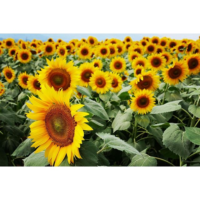 helianthus 工房見学と 農家さんを回った後に 明野のヒマワリを視察^^ またまだでしたが 一部だけ満開に^^ #mountainmountain #nagasakabase #そんなあなたはスパイシー #mountainlife #ヒマワリ #helianthus #sunflower