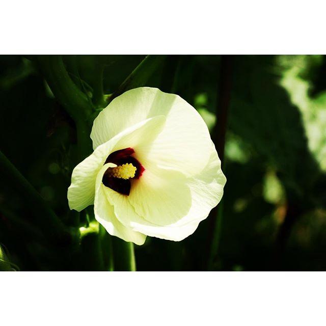 okra やっぱりオクラの花は綺麗^^ #nagasakabase #mountainmountain #そんなあなたはスパイシー#mountainlife #okra #オクラ